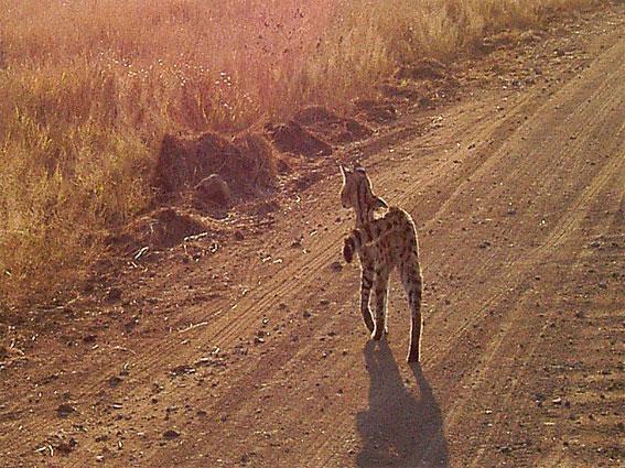 serval afrique