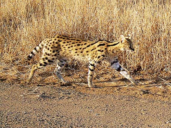serval animal